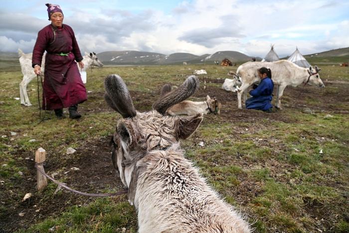 Цаатаны: народ, который получает все необходимое от разведения оленей