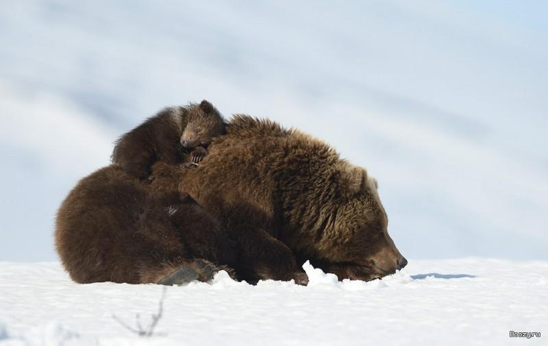 Медвежонок Чапай