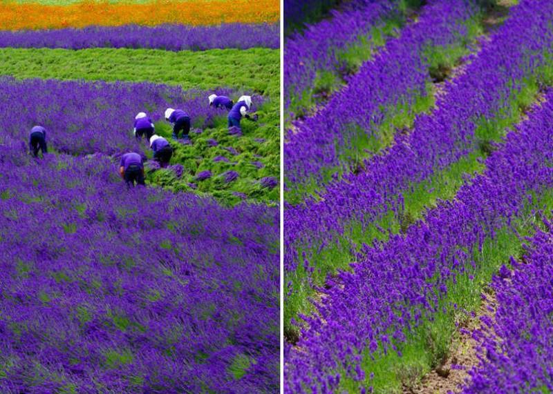 Как цветет лаванда