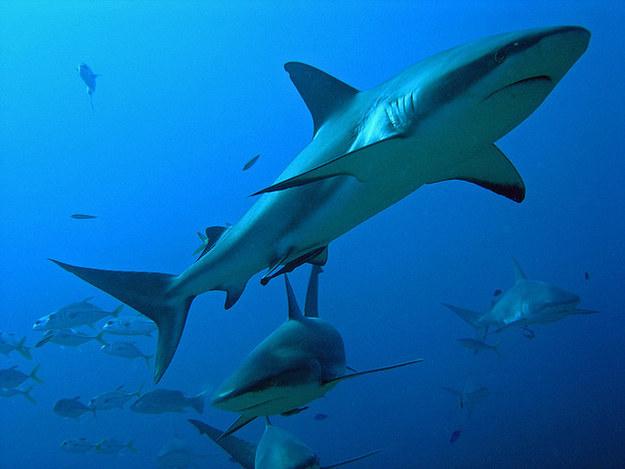 17 фактов об акулах