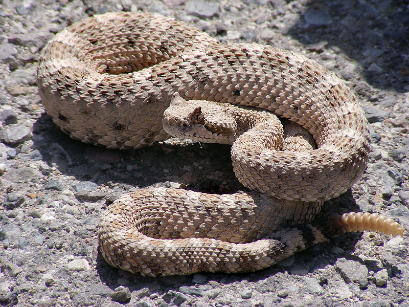 Самые опасные животные североамериканских пустынь