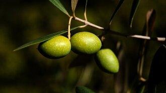 Маслины VS оливки: в чем разница