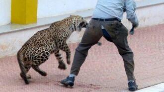 В Индии леопард пробрался в школу и травмировал шесть человек