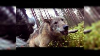 Нападение волков на собаку