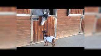 Коза нападает на лошадь: эпическая битва