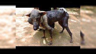 Волонтеры из Индии спасли умирающую собаку