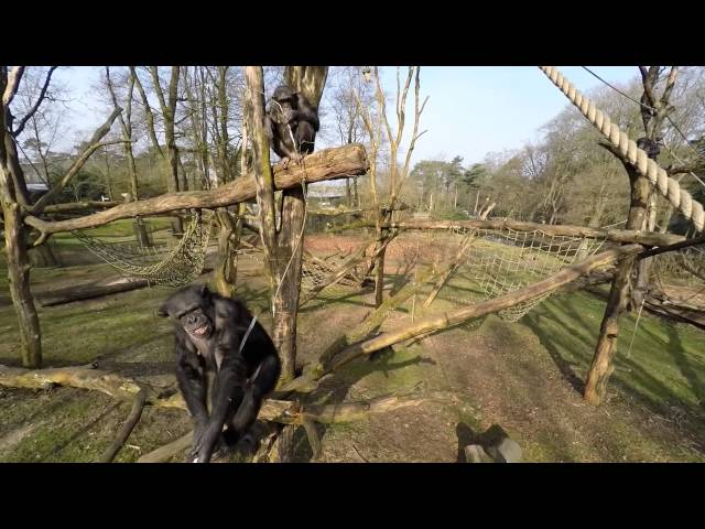 Шимпанзе против дрона