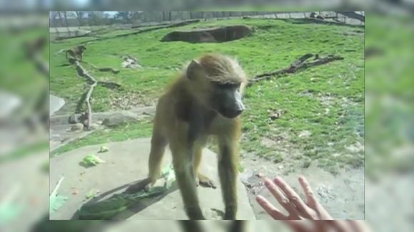 Агрессивная обезьяна