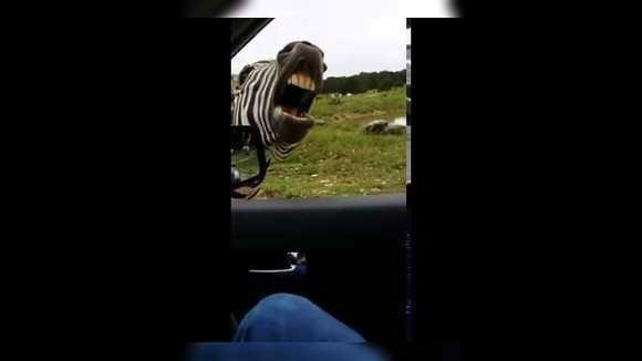 Зебры умеют петь?