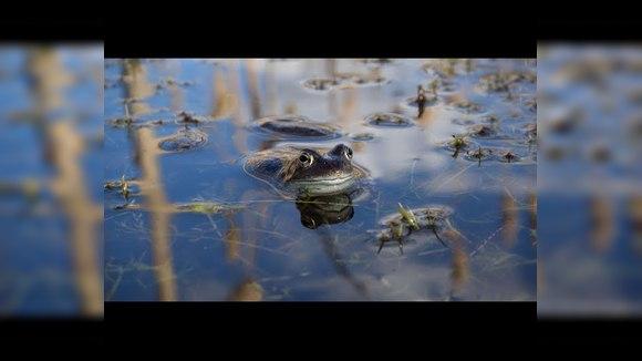 The Guardian снял панорамное видео в болоте с лягушками
